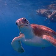 Swimming With Sea Turtles and Snorkeling With Calabaza Sailing Cruises